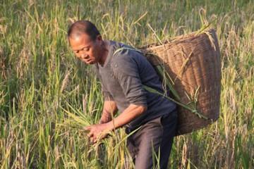 发展再生稻大有可为
